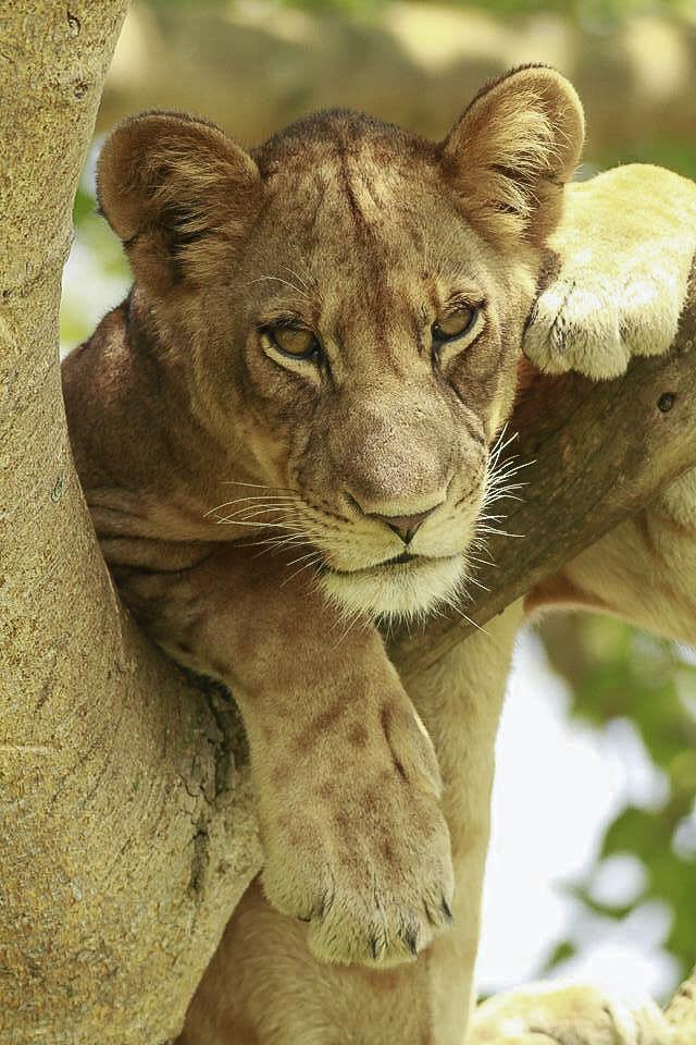 Baumlöwe in Uganda, Afrika, Fotosafari mit photofascination.ch