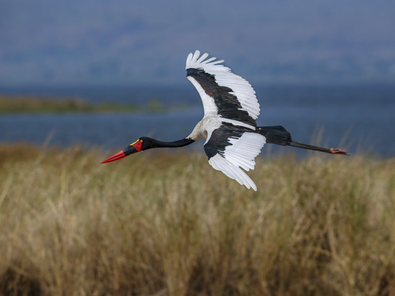 Fotoreise,Sattelstorch, Uganda, Afrika, Kibale National Park