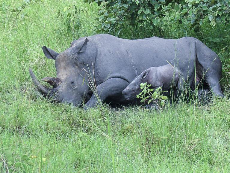 Fotoreise Uganda, Breitmaulnashorn