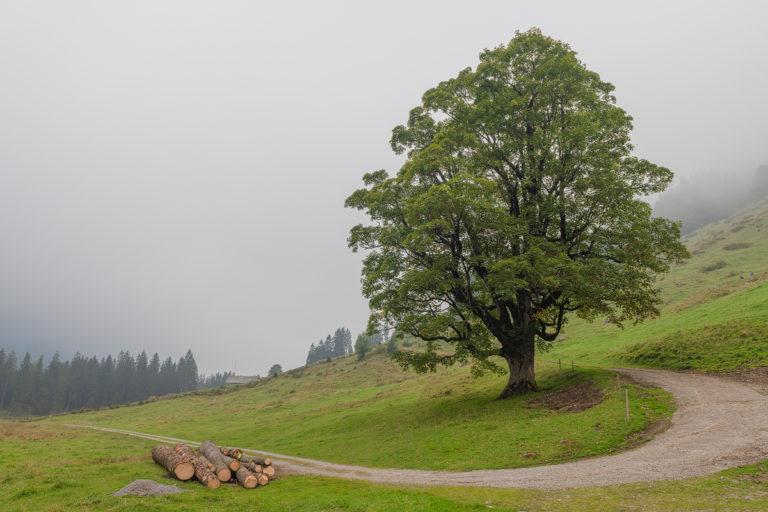 Justistal, Morgennebel, Ahornbaum auf der Alp, Mystische Stimmung