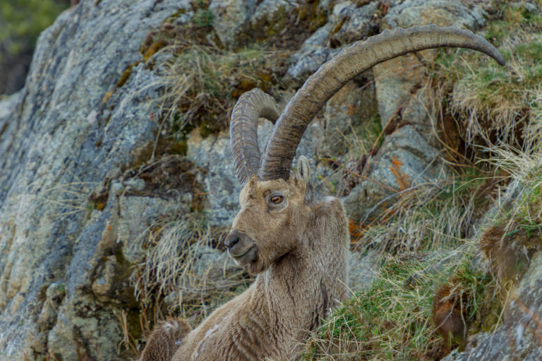 Alter Engadiner Steinbock beim Piz Languard