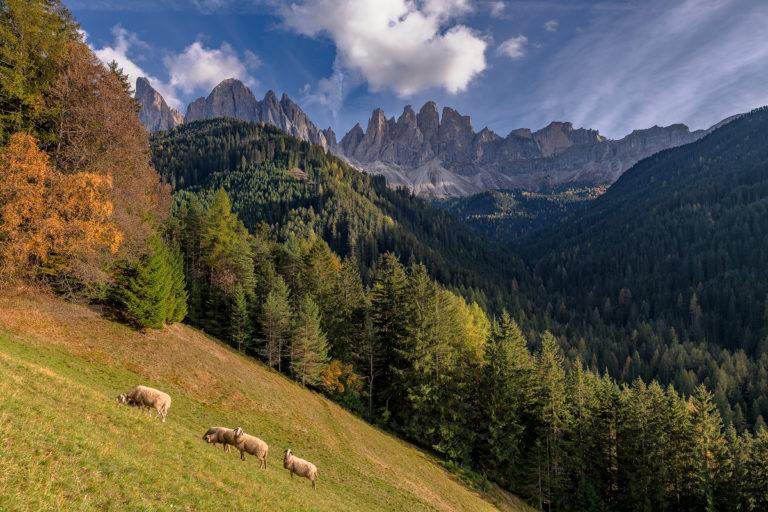 Dolomiten, Geislerspitzen und Schafe, Herbst