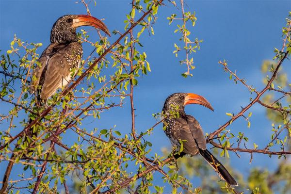 Fotoreise Tansania, Rotschnabeltoko Paar