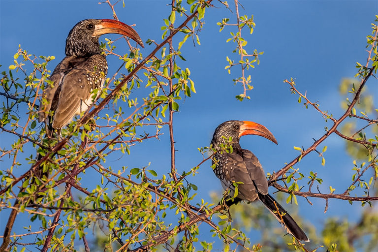Fotoreise Botswana, Rotschnabeltoko Paar