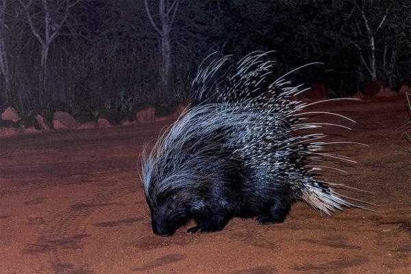 Stachelschwein in der Nacht, Fotoreise Botswana