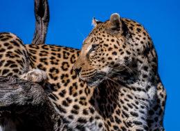 Fotoreise Botswana, Leopard