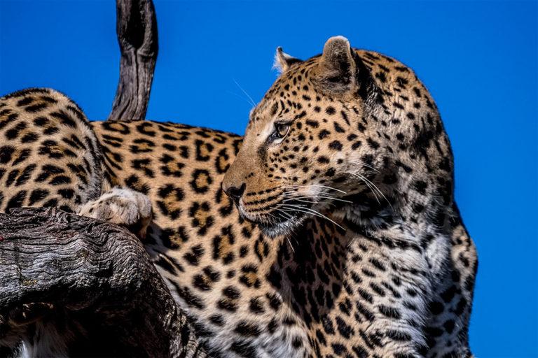 Fotoreise Tansania, Leopard