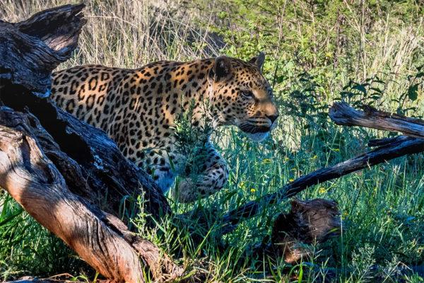 Tansania Fotoreise, Leopard am anschleichen