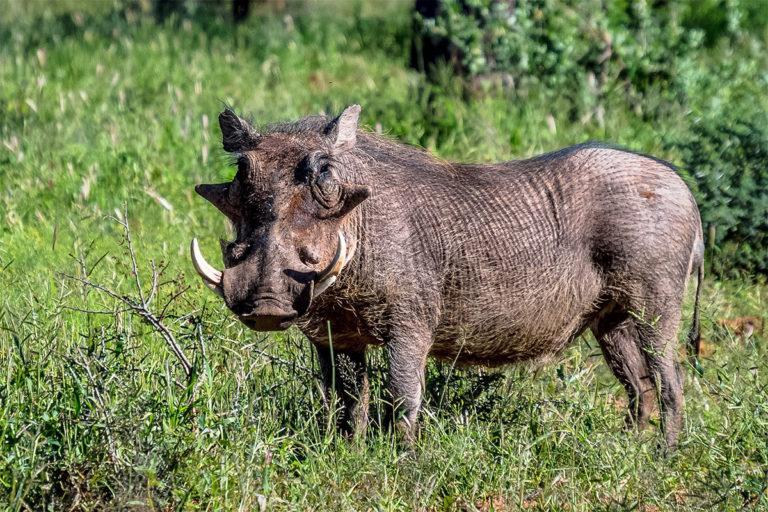 Fotoreise Tansania, Warzenschwein, Eber