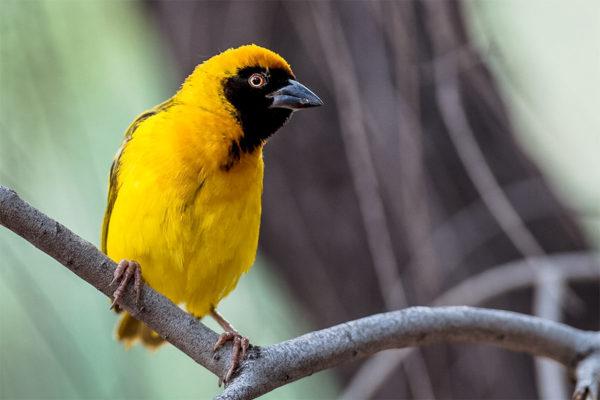 Tansania Fotoreise, Webervogel am Baum