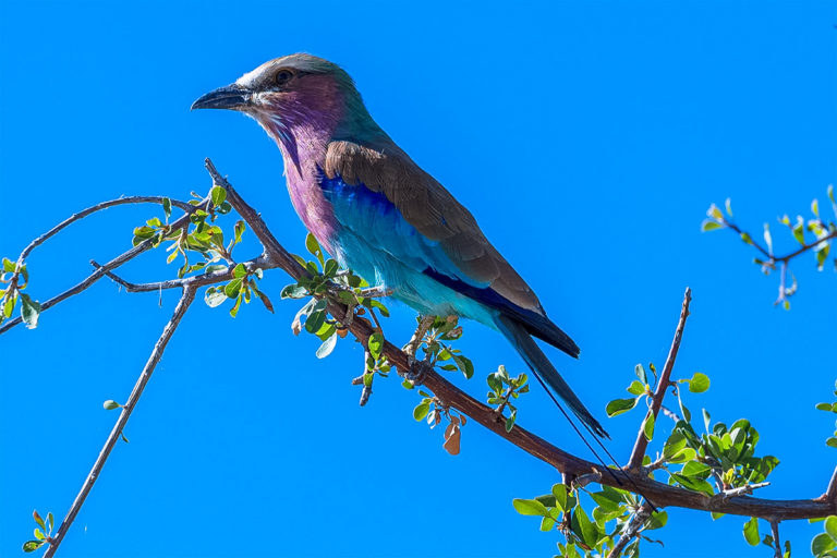 Fotoreise Botswana, Gabelracke auf Akazie