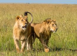 Fotoreise Tansania, Löwenbrüder auf Futtersuche