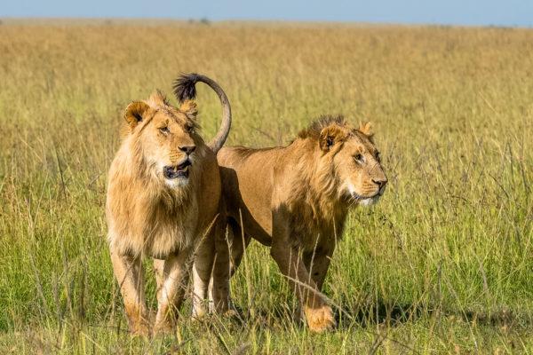 Fotoreise Botswana, Löwenbrüder auf Futtersuche