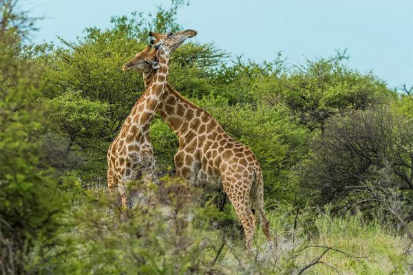 Fotoreise Tansania, Giraffenliebe im Busch