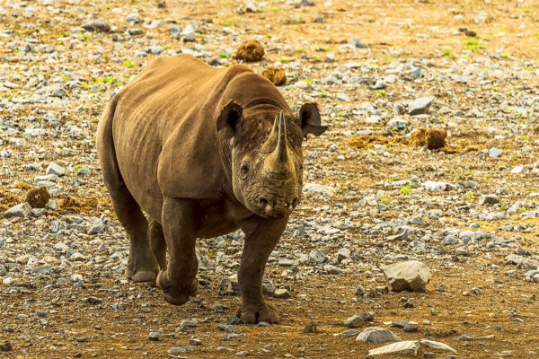 Fotoreise Botswana, Spitzmaulnashorn
