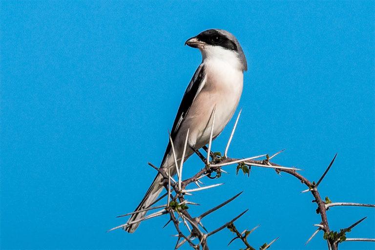 Shrike, Würger, auf der Fotoreise Botswana