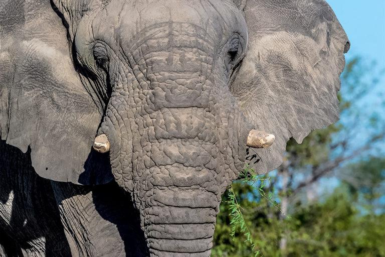 Fotoreise Tansania, Afrikanischer Elefant