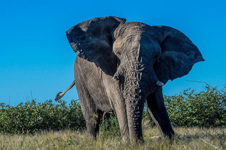 Fotoreise Botswana, Elefant mit Drohgebärde