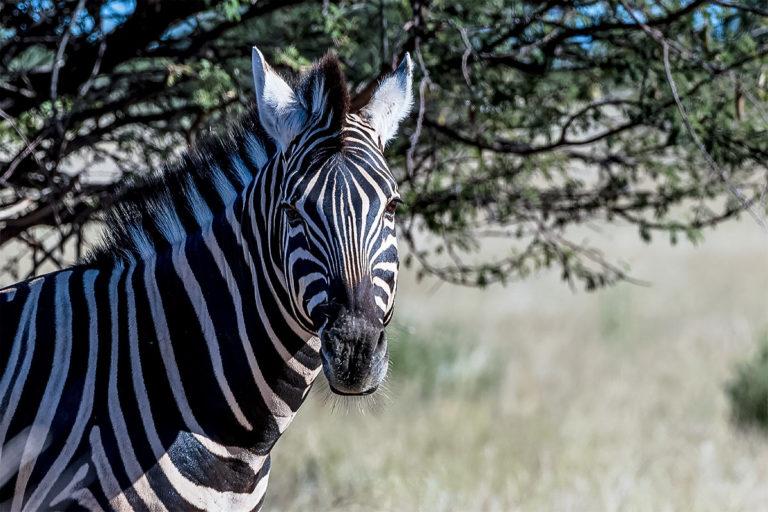Fotoreise Botswana, Zebra