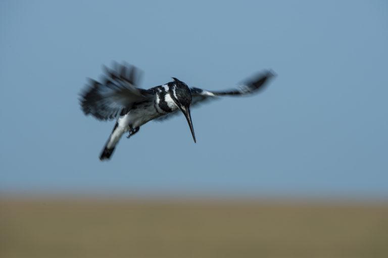 Pied Kingfisher, im Flug, Fotoreise Kenia