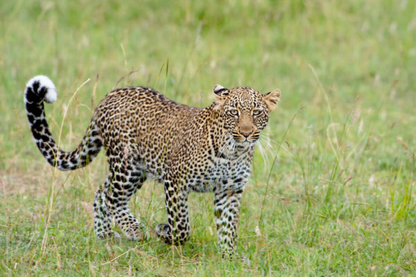 Fotoreise Kenia, Leopardin auf Wanderung