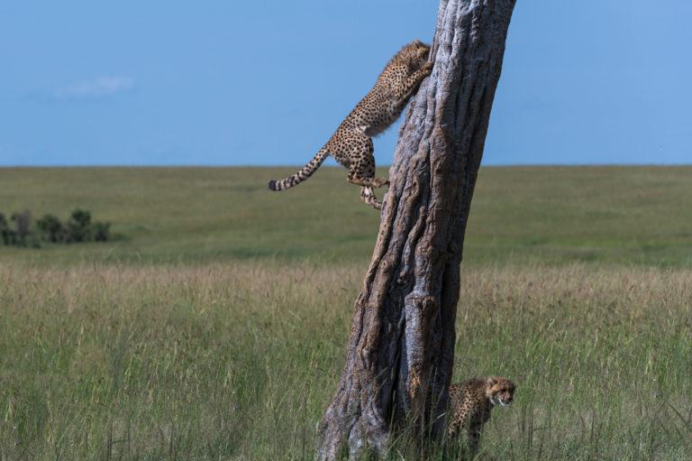 Fotoreise Kenia, Geparden beim Klettern