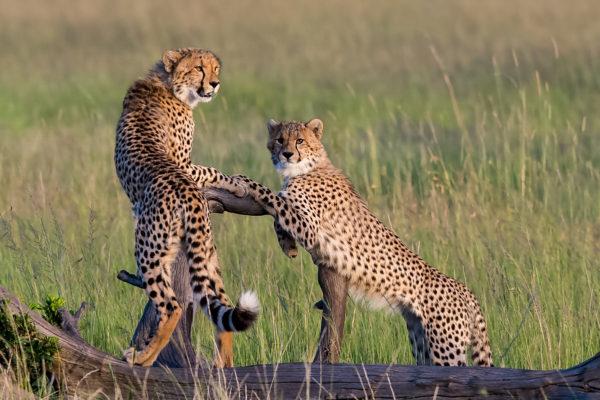 Fotoreise Kenia, Gepardenbrüder beim Posieren