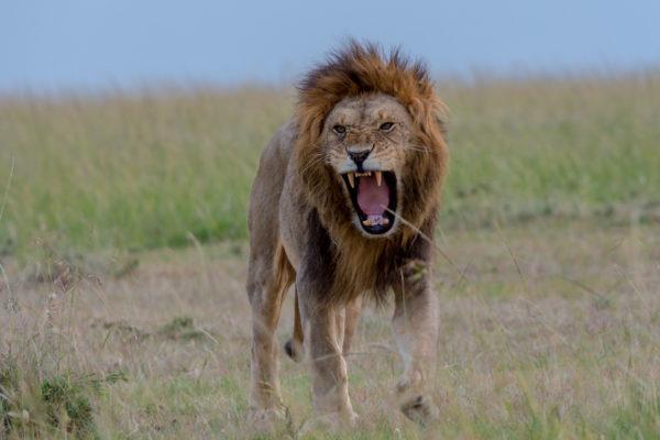 Fotoreise Kenia, Verärgerter Löwe, angry lion