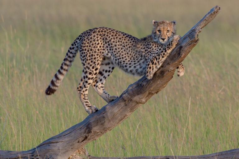 Fotoreise Kenia, Gepard stretching