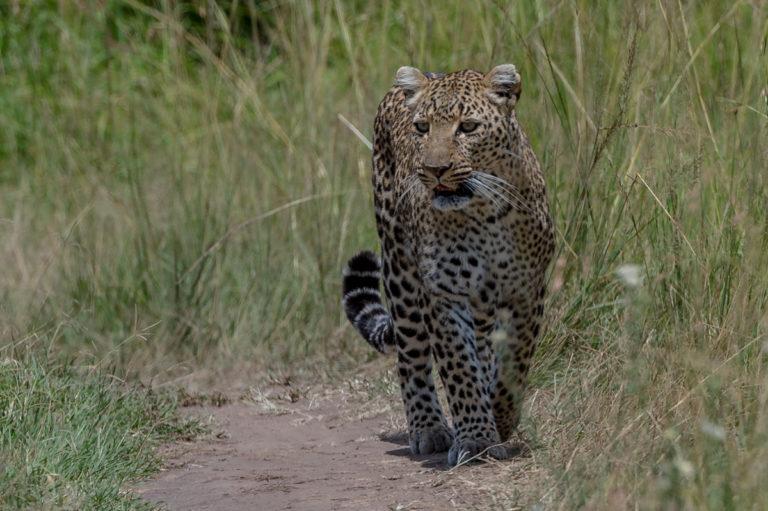 Fotoreise Kenia, Leopard auf der Jagd