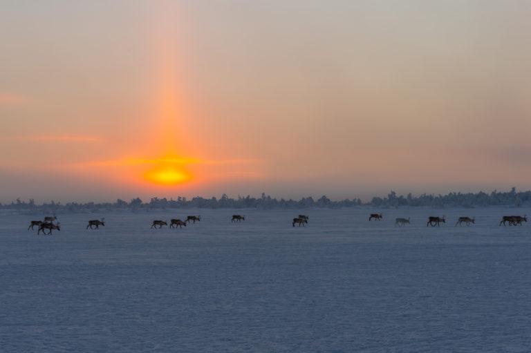 Lappland im Winter, Rentiere