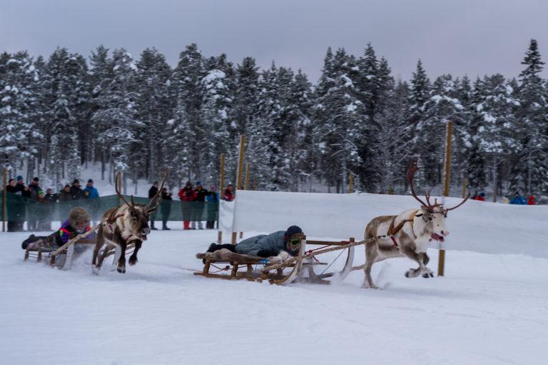 Lappland, Rentier-Schlittenrennen