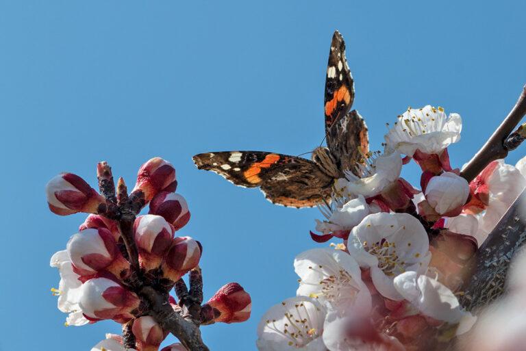 02 aprikosenblueten insekten