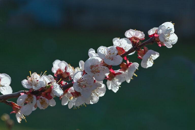 04 aprikosenblueten insekten