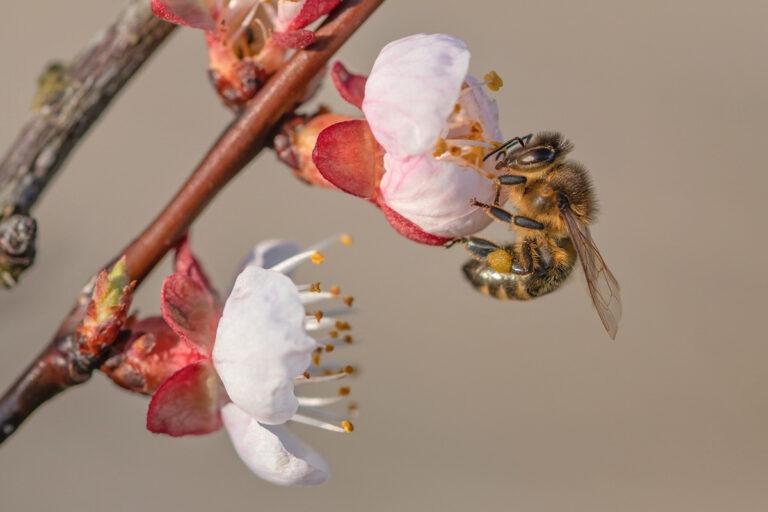 09 aprikosenblueten insekten