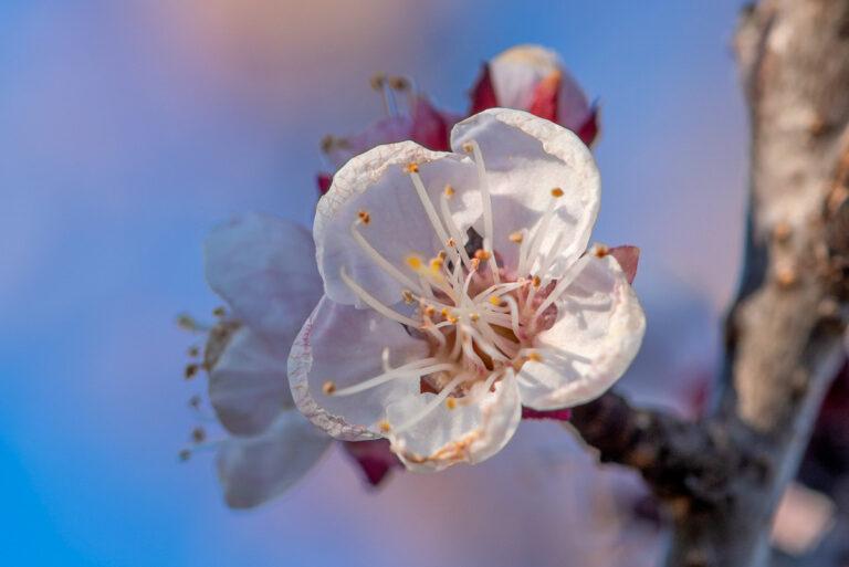 10 aprikosenblueten insekten