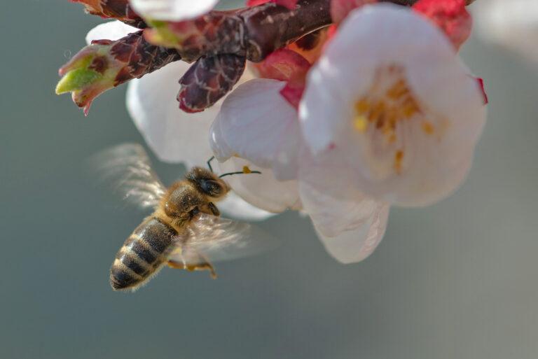 13 aprikosenblueten insekten