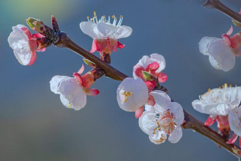 15 aprikosenblueten insekten
