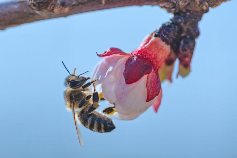 16 aprikosenblueten insekten