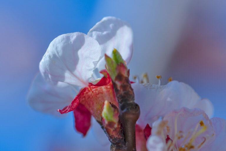 17 aprikosenblueten insekten