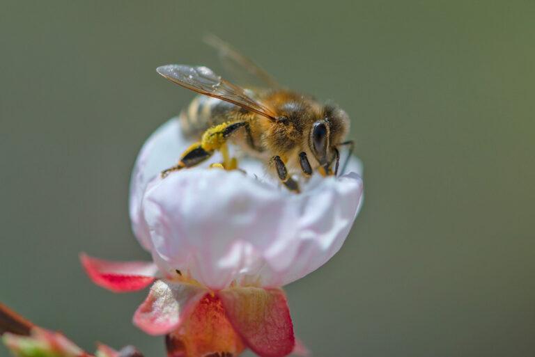 19 aprikosenblueten insekten