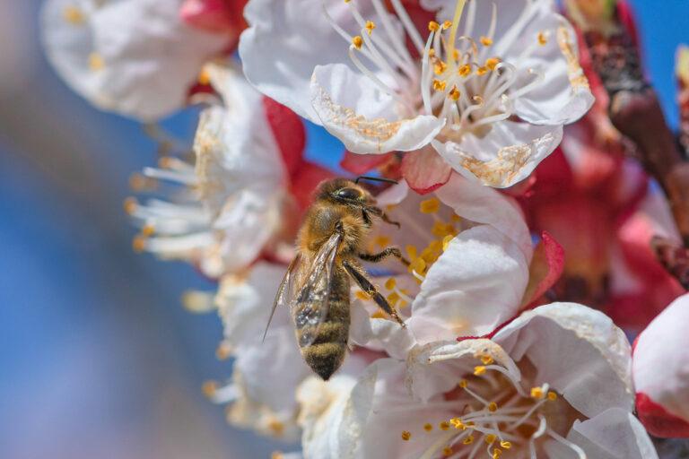 22 aprikosenblueten insekten