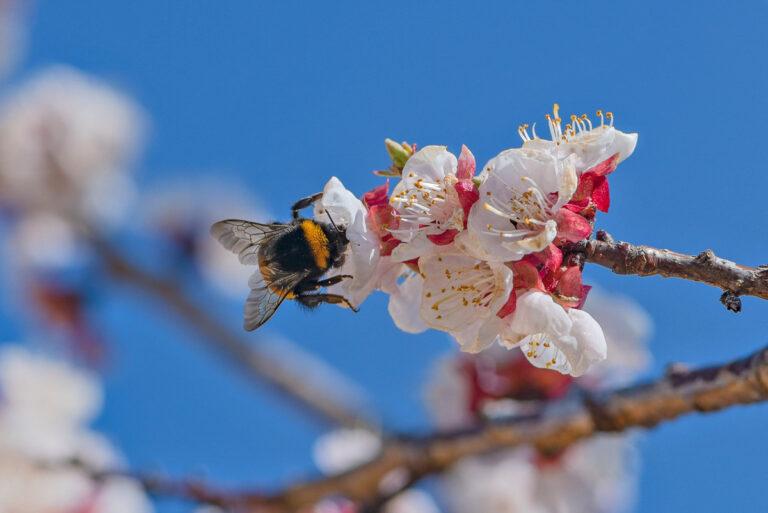 23 aprikosenblueten insekten