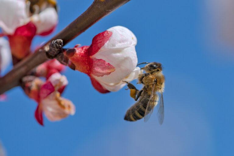 25 aprikosenblueten insekten