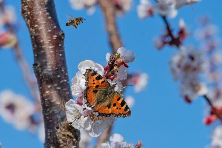 28 aprikosenblueten insekten