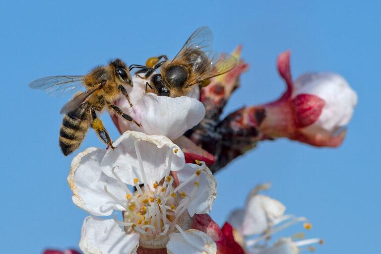 29 aprikosenblueten insekten
