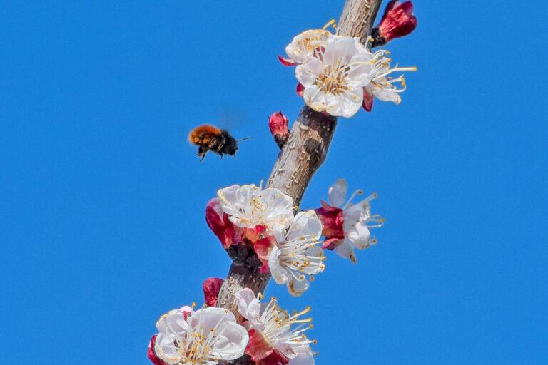 30 aprikosenblueten insekten