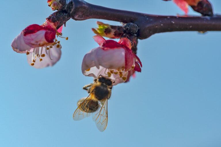 31 aprikosenblueten insekten