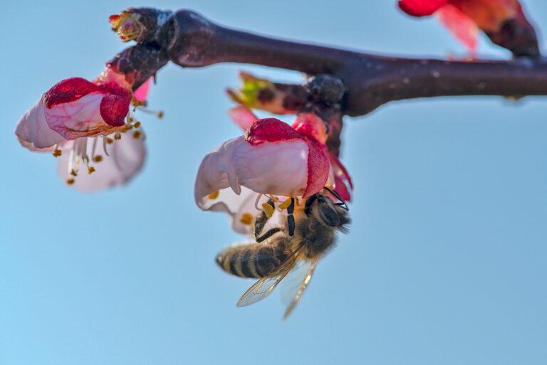 32 aprikosenblueten insekten