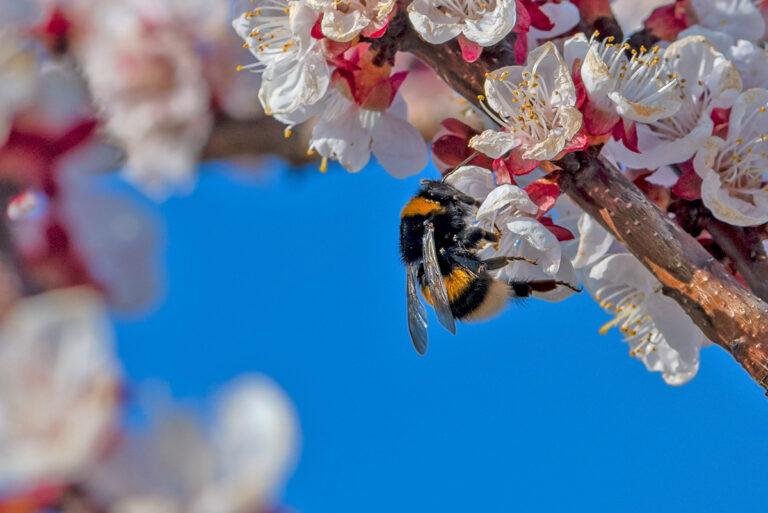 34 aprikosenblueten insekten